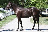 Hip #104 Dynaformer - Irridescence colt at the  Keeneland September Yearling Sale.  September 9, 2012.