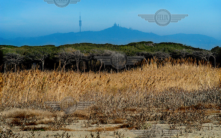 Reeds next to the Llobregat river, with the Collserola Tower and Tibidabo mountain in the distance.