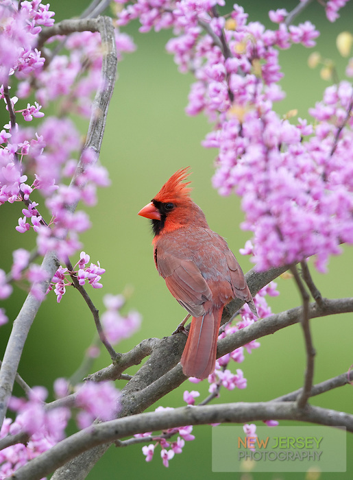 Northern Cardinal, in Red Bud tree, New Jersey