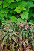 Adiantum jordanii, California Maidenhair Fern in California native plant shade garden with broad foliage thimbleberry