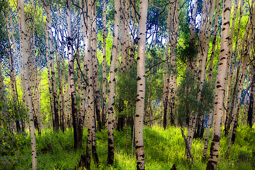 Summer Aspens in the Kolob Terrace area adjacent to Zion National Park, Utah