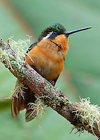 Female white-throated mountain-gem