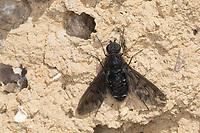 Trauerschweber, an einer Wildbienen-Nisthilfe, Trauer-Schweber, Wollschweber, Anthrax anthrax, Parasit, Parasitismus, bee fly, bee flies
