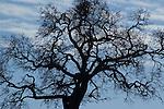 Deciduous oak, Quercus sp. Mount Diablo State Park, California