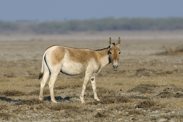 Asian Wild Ass - Equus hemionus khur
