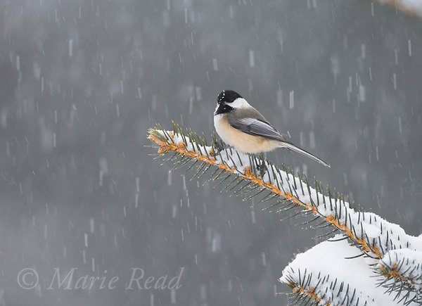 Black-capped Chickadee (Poecile atricapilla) in snowstorm, Freeville, New York, USA.
