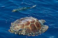 Loggerhead turtle, Caretta caretta, Pico, Azores, Portugal