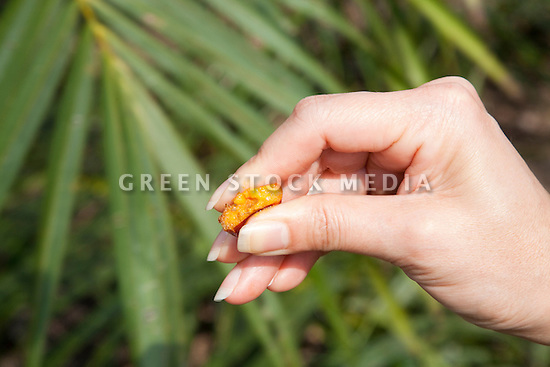 Cross-section of immature palm fruit in palm of hand. The Sindora Palm Oil Plantation, owned by Kulim, is green certified by the Roundtable on Sustainable Palm Oil (RSPO) for its environmental, economic, and socially sustainable practices. Johor Bahru, Malaysia