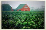 A foggy morning as the Spring vineyard point to a county barn in Napa Valley, CA.