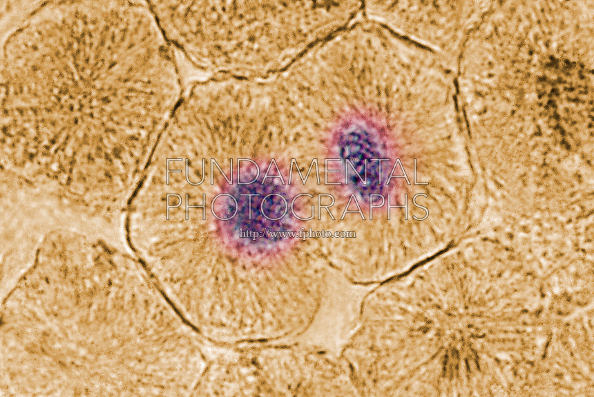 CELL MITOSIS - ANIMAL CELL<br /> (6 of 7)<br /> Telophase  In Whitefish Blastula<br /> Chromotids arrive at opposite poles of cell, the new cell membrane is being formed and the nuclei have almost matured to their pre-mitotic state. The chromosomes and spindle fibers disperse.