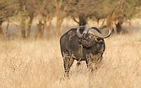 Cape buffalo bull in morning light