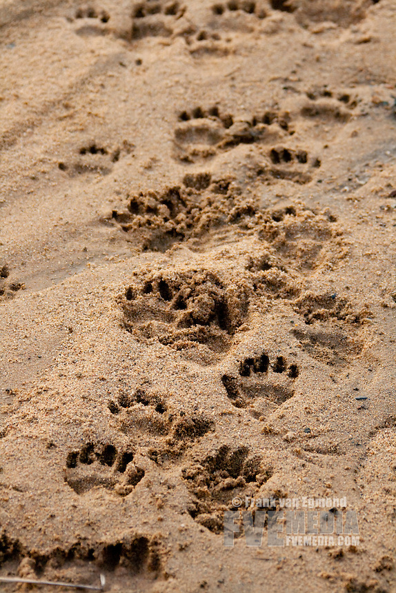 Baboon tracks in a riverbed..Winter, May 2009..Hluhluwe-Imfolozi Game Reserve, Kwazulu Natal, South Africa.