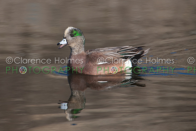 American Wigeon (Anas americana) - Male calling mate while reflected on lake surface