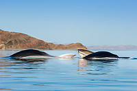 fin whale, Balaenoptera physalus, feeding, showing baleen, Baja California, Mexico, Gulf of California, aka Sea of Cortez, Pacific Ocean