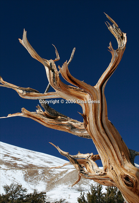 Weathered limb of a Bristlecone pine in the White Mountains