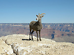 Bighorn Sheep ewe, Desert, Grand Canyon, Arizona
