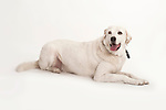 Akbash Dog, Laying Down, Studio, White Background