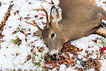 White-tailed buck harvested during the 9-day gun season in Wisconsin.