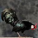 23/11/12 - MONTLUCON - ALLIER - FRANCE - Concours National Avicole de Montlucon. Coq Java noir. Eleveur Bernard Janisson - Photo Jerome CHABANNE