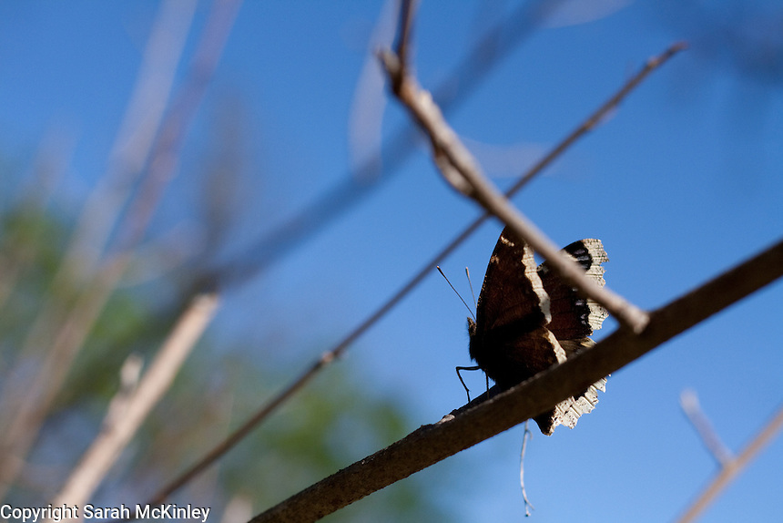 Profile of a Mourning Cloak Butterfly against a deep blue sky in Low Gap Park in Ukiah in Mendocino County in Northern California.