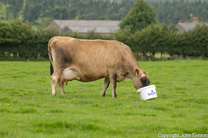 Jersey milk cow eating feed supplement from a white bucket, Dunsop Bridge, Lancashire.