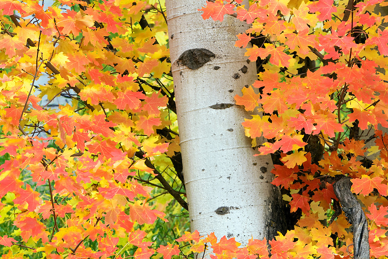 Rocky Mountain Maple tree with aspen trunk in fall color. Targhee National Forest, Idaho