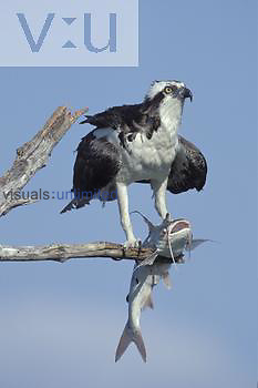 Osprey ,Pandion haliaetus, with a Catfish in its talons, Sanibel Island, Florida, USA.