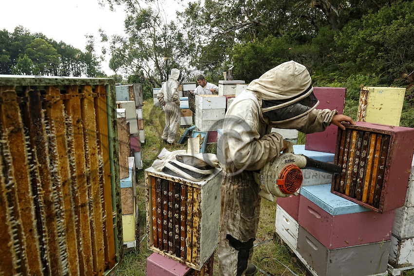 19 The harvest at Ben Brown's apiary. The method is rapid and efficient through the use of a blower. The four-person team harvests several tons of honey within a few hours. The bees don't much appreciate this harvesting method. ///Récolte sur le rucher de Ben Brown. La méthode est rapide, efficace par l'utilisation de souffleur. L'équipe de quatre personnes récolte en quelques heures plusieurs tonnes de miel. Les abeilles apprécient peu ce mode de récolte.