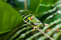 Guady tree frog, Tortuguero, Costa Rica, Central America