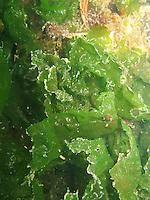 Meersalat, Meer-Salat, Meerlattich, Ulva lactuca, sea lettuce