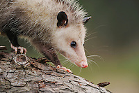 Virginia Opossum (Didelphis virginiana), young walking on branch, Fennessey Ranch, Refugio, Coastal Bend, Texas, USA