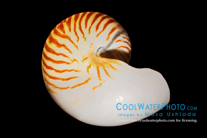 chambered nautilus shell or Emperor nautilus shell, Nautilus pompilius, or  the largest nautilus species, giant nautilus shell, Nautilus repertus. The living animal occupies the outer shell chamber. A tissue-lined tube of shell, the siphuncle, connects the body to older chambers. Gas in the sealed chambers balances the animal's growth, providing neutral buoyancy.