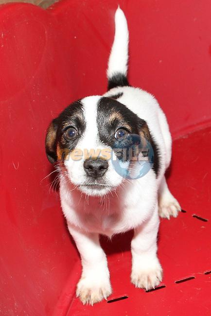 1 of 7 Terrier Jack Russell cross pups (10 weeks old) at Collon Animal Santuary...Photo NEWSFILE/Jenny Matthews.