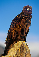 521090008 a captive falconers golden eagle aquila chrysaetos perches on a large rock on an open prairie in central colorado