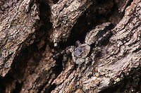 Jumping Spider, Salticidae, adult on mesquite tree bark camouflaged , Willacy County, Rio Grande Valley, Texas, USA, June 2004