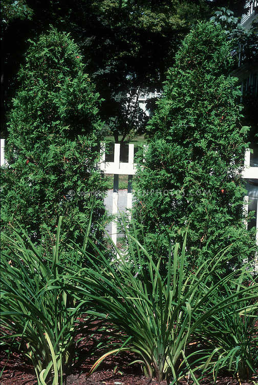 Thuja occidentalis in front of white fence with daylily foliage Hemerocallis