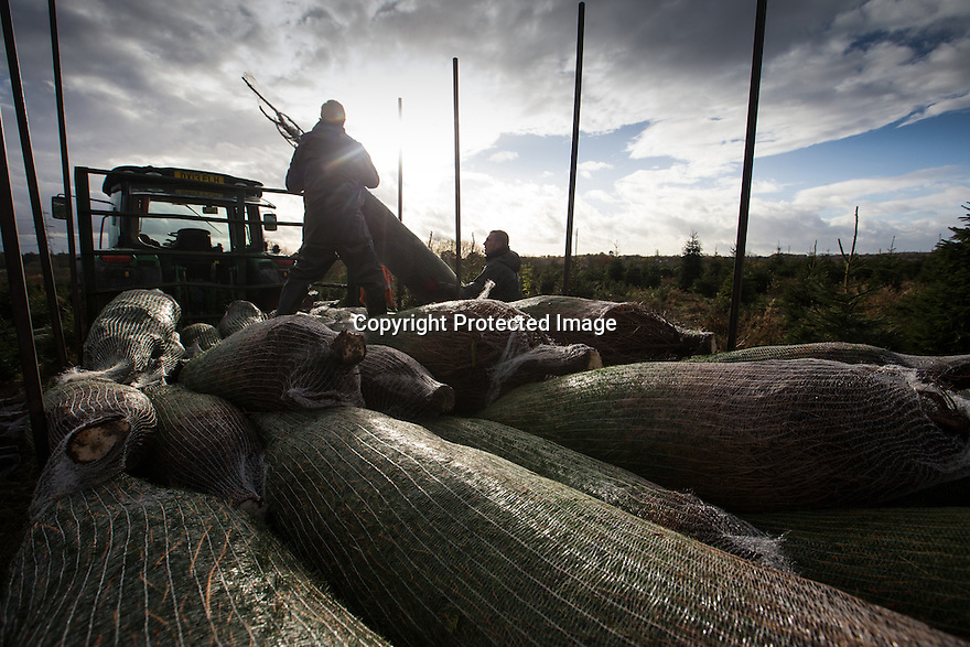 21/11/16<br /> <br /> Tom Theobald loads a trailer.<br /> <br /> Braving torrential rain and gale force winds, Christmas tree farmers begin their harvest one week earlier than in previous years after an unprecedented number of early orders from garden centres across the country.  The muddy field in Groby, near Leicester is one of many owned by Cadeby Tree Trust who will cut and wrap more than 100,000 seasonal trees this year.<br /> All Rights Reserved F Stop Press Ltd. +44 (0)1773 550665