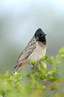 Red Vented Bulbul - Pycnonotus cafer