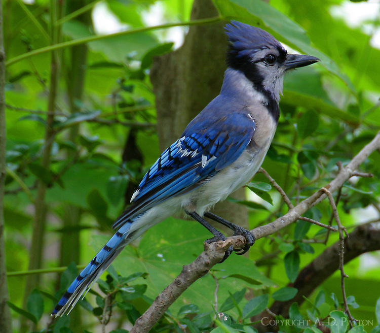 Adult blue jay on branch