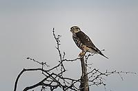 Merlin, San Angelo State Park, Texas