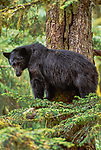 Black bear, Alaska, USA