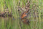 Virginia rail sticking head under water to locate food