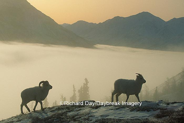 01989-00420 Dall sheep (Ovis dalli) silhouette above fog bank Yukon   Canada