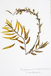 To store the algae, specimens are pressed and dried out in a herbarium press – this simple process preserves the specimens for hundreds of years.