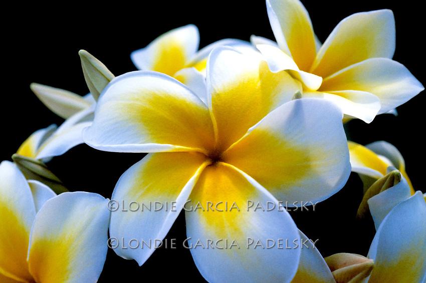 Plumeria flowers, Tahiti
