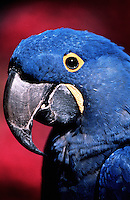 Portrait of a Hyacinthine macaw (Anodorhynchus Hyacinthinus).