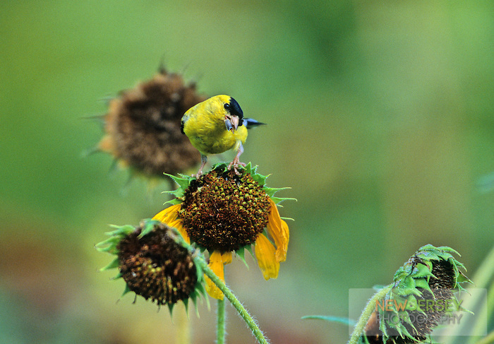 American Goldfinch, eating sunflower seeds, Moorestown, New Jersey