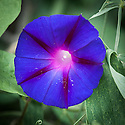 Morning glory (Ipomoea purpurea 'Purple Haze'), late August.