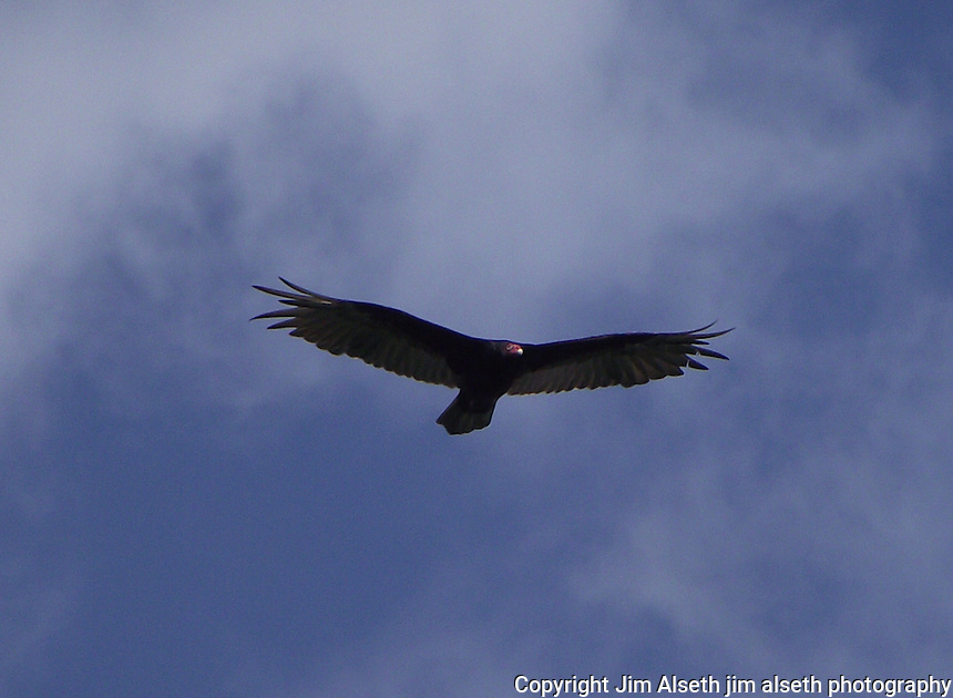 This raptor, photographed close to Cold Lake Alberta, had me fooled until I had a closer look at the images. Certainly the size of an eagle, he turned out to be a Turkey Vulture.