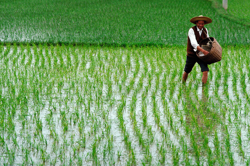 Rice farmer spreading fertilizer. Guanzhou, China Rice fields.